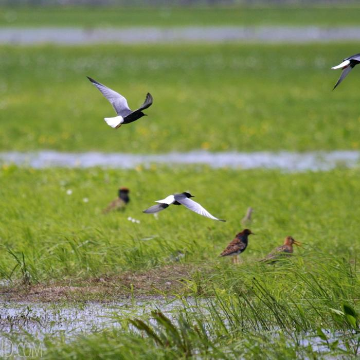 White-winged Terns, Ruffs And Black-tailed Godwit In The Biebrza River