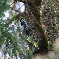 Three-toed Woodpecker In The Białowieża Forest By Lionel Maumary