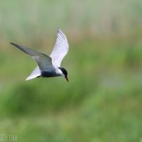 Whiskered Tern In The Siemianówka Lake, Białowieża Forest. Photo By Lionel Maumary
