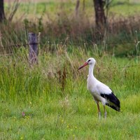 White Stork In The Biebrza Marshes