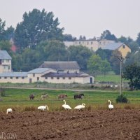 Whooper Swans In The Biebrza Marshes