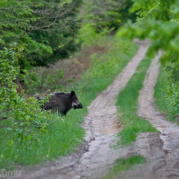 Wild Boar In The Białowieża Forest By Tomasz Jezierczuk