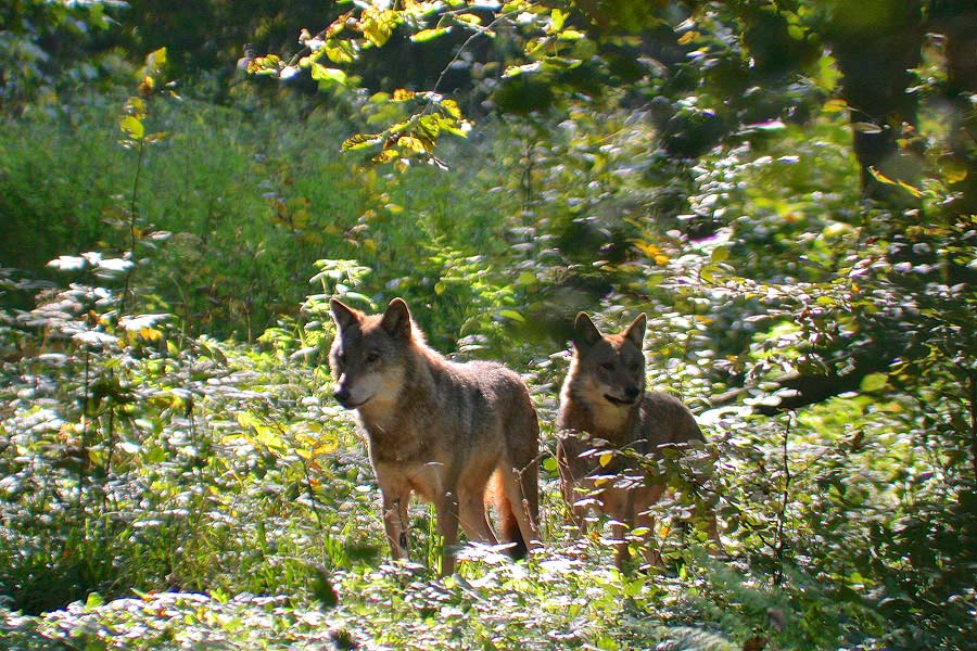 Wolves seen on our trip in the Białowieża Forest