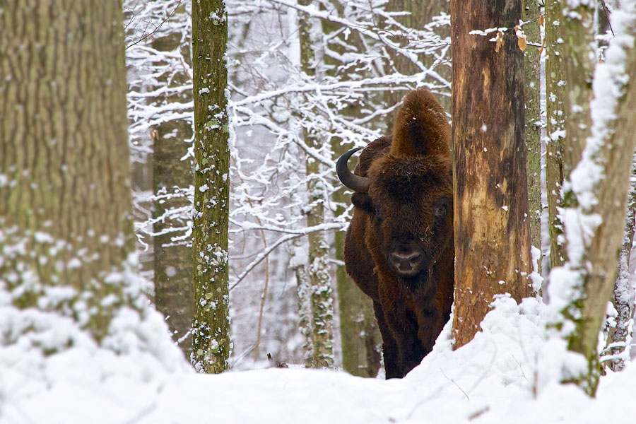 European Bison seen on our trip in the Białowieża Forest