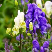 Aconite Monkshood In The Bieszczady Mountains