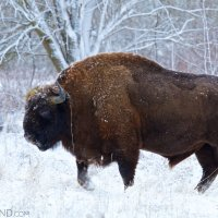 Bison Safari With Wild Poland