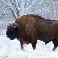 European-bison-bialowieza-forest-winter-wildpoland-03
