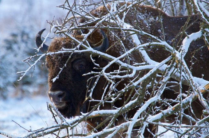 Winter Wildlife Of Białowieża Forest And Biebrza Marshes – Feb 2015