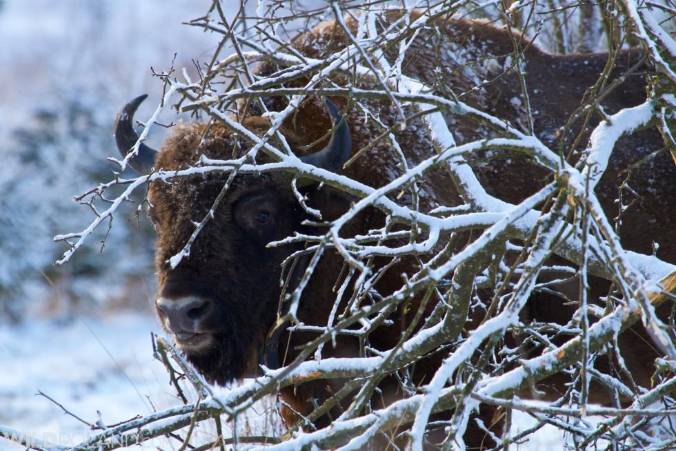 Winter Wildlife Of Białowieża Forest And Biebrza Marshes, Feb 2015