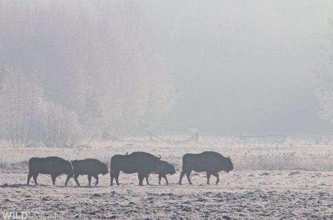 Winter Bison Safari & Wolf Tracking – Jan 2015