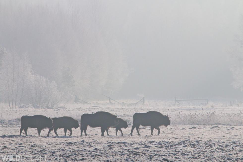 Winter Bison Safari & Wolf Tracking, Jan 2015
