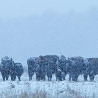 European-bison-herd-bialowieza-forest-winter-wildpoland-06