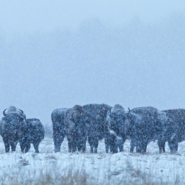 Bison Herd In A Blizzard, Białowieża Forest