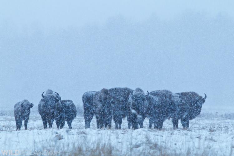 Bison Herd In A Blizzard, Białowieża Forest