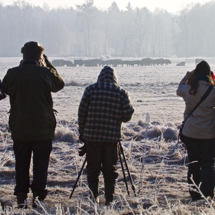 Watching Bison In The Białowieża Forest, Bison Safari With Wild Poland.