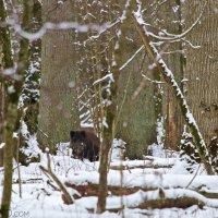 Wild Boar In The Białowieża Primeval Forest