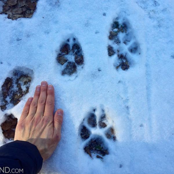 Wolf Footprints In The Snow During Our Wolf Tracking In The Białowieża Forest, Winter 2015