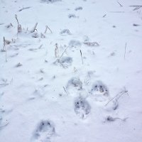 Wolf Tracks In The Snow, Białowieża Forest
