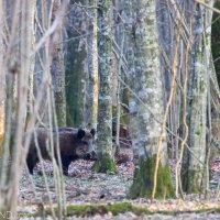 Wild Boar In The Białowieża Forest