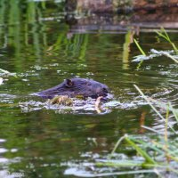 Beaver-biebrza-wildpoland