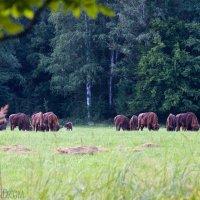 Bison-wolf-patrol-bialowieza-forest-19