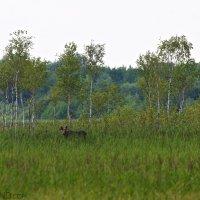 Elk-moose-biebrza-wildpoland (1)