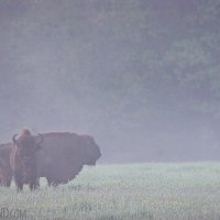 European-bison-bialowieza-forest-poland-52