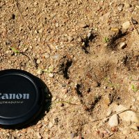Lynx-footprint-bialowieza-forest-20