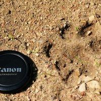 Lynx-footprint-bialowieza-forest-20