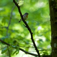 Red-breasted-flycatcher-bialowieza-forest-66