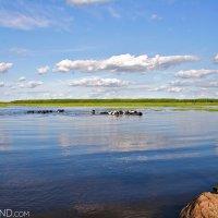 Swimming-cows-biebrza-wildpoland
