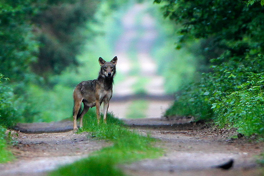 Wolf In The Białowieża Forest On Our Tour In 2012 By Lionel Maumary