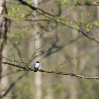 Collared Flycatcher In The Białowieża Forest