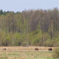 Bison Grazing At The Forest Edge In The Białowieża Forest