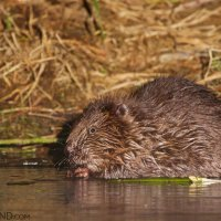 Beaver In The Biebrza Marshes Seen On Wild Poland Boat Trip