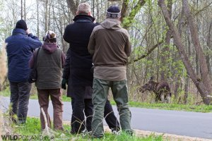 Watching Elk (Moose) in the Biebrza Marshes