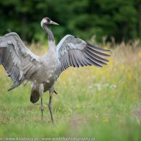 Common Crane At The Riverside Hide In The Białowieża Forest