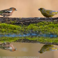 Chaffinch And Greenfinch At The Riverside Hide In The Białowieża Forest