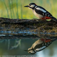 Great Spotted Woodpecker At The Riverside Hide In The Białowieża Forest