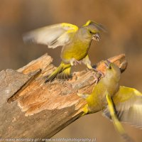 Greenfinches Taken At The Woodpecker Hide