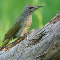 Grey-headed Woodpecker Photographed In The Woodpecker Hide, Białowieża Forest