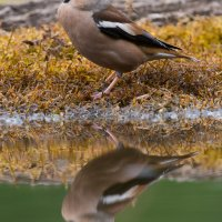 Hawfinch At The Riverside Hide In The Białowieża Forest