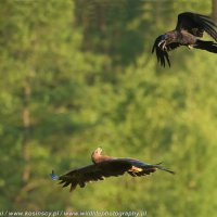 Lesser Spotted Eagle And Raven Photographed At The Deer Hide In The Białowieża Forest