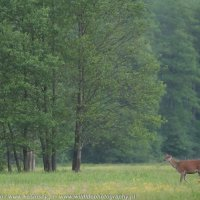 Red Deer Photographed At The Deer Hide In The Białowieża Forest