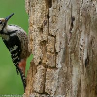 White-backed Woodpecker Photographed In The Woodpecker Hide, Białowieża Forest