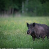 Wild Boar Photographed At The Deer Hide In The Białowieża Forest