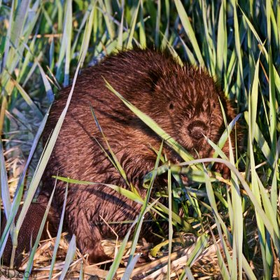 European Beaver In The Biebrza Marshes, Seen On Our Boat Trip In May 2015