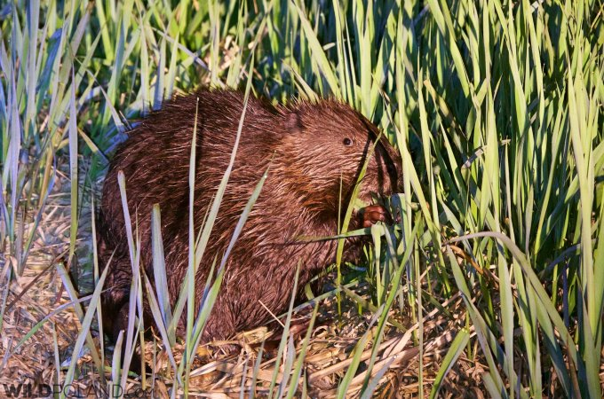 Beaver In The Biebrza Marshes, Seen On Our Boat Trip In May 2015