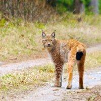 Lynx in the Białowieża Forest