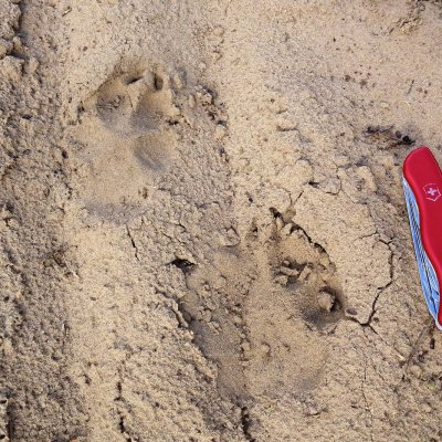 Wolf Footprints Seen On Our Wolf Tracking Trip In May 2015